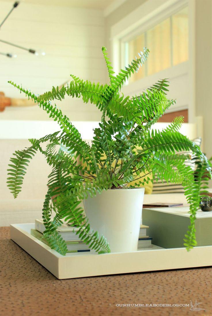 Australianswordferninlivingroom house plants