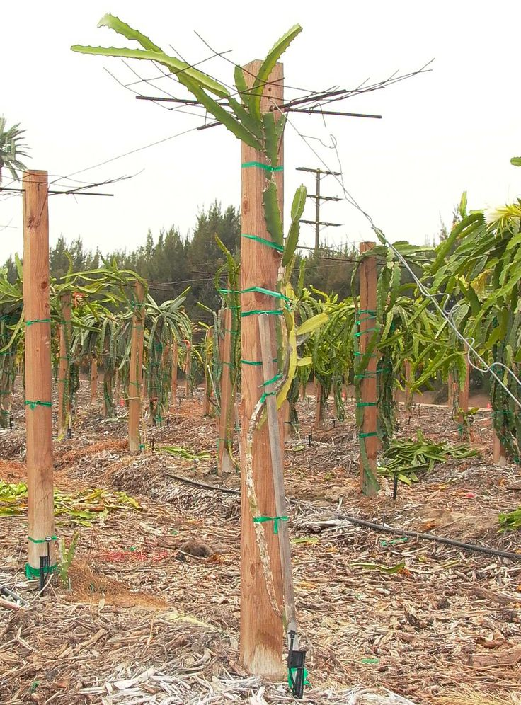 Dragon Fruit Support structure, arbor, trellis, pitahaya, pitaya, Ramiro Lobo support system in Irvine, California, Thanh Long
