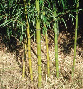When boiled with water, bamboo shoots produce a turkey red dye.