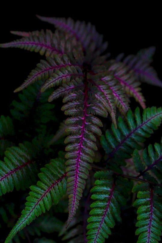 "indigo–soul: "" http://indigo–soul.tumblr.com/ Athyrium nipponicum - Japanese Painted Fern, "" This is so amazing..."