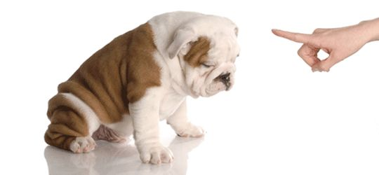 There are many puppy trainers in Los Angeles but you have to choose the right one. The Dog Savant where you will find the right dog trainer Dr. Brett for your dog. Brett is a famous dog and puppy trainer in Los Angeles, CA area.