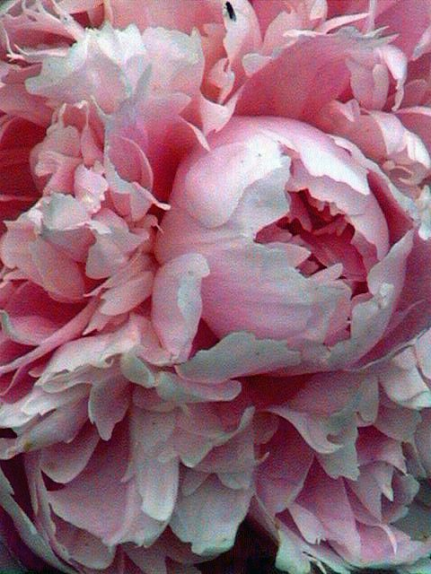 Peonies are such a pain... Between burdensome drooping blooms and being littered with bugs... But they are worth it.