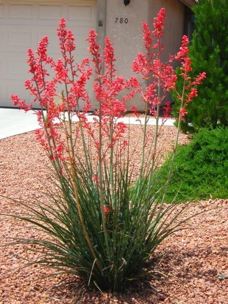 Hesperaloe Parviflora Red Yucca Xeriscape Landscaping