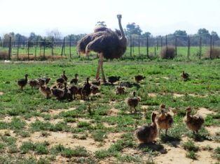 Ostrich Chicks are nidifugous ‹ Safari Ostrich Show Farm | Ostrich Tours in Oudtshoorn