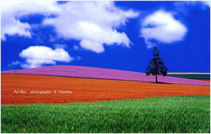 北海道の夏といえば、やっぱり美瑛でしょう  ラベンダーの甘い香りが、なんとも心地いいです  パッチワークの田園風景が広がる美瑛の丘 見頃は7月...