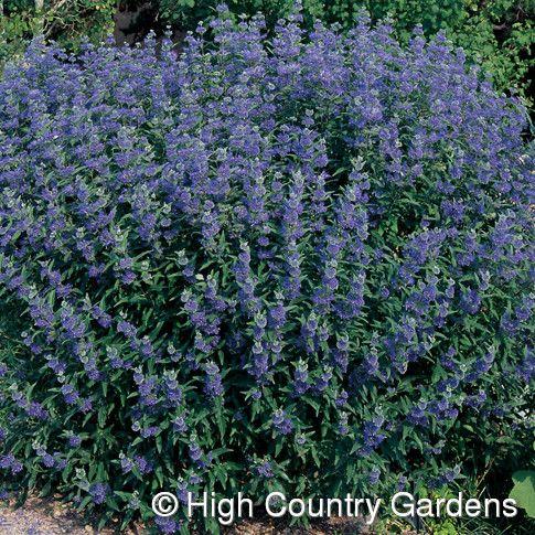 Blue mist spirea caryopteris clandonensis 39 dark knight for Tall flowering shrubs
