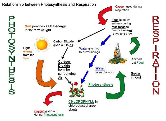 Pin By Ambika Ponraj On School Photosynthesis Photosynthesis And Cellular Respiration Cellular Respiration Activities
