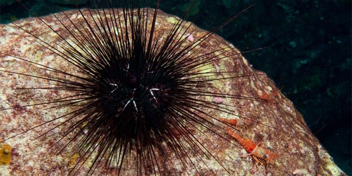Sea Urchin (Centrostephanus longispinus)