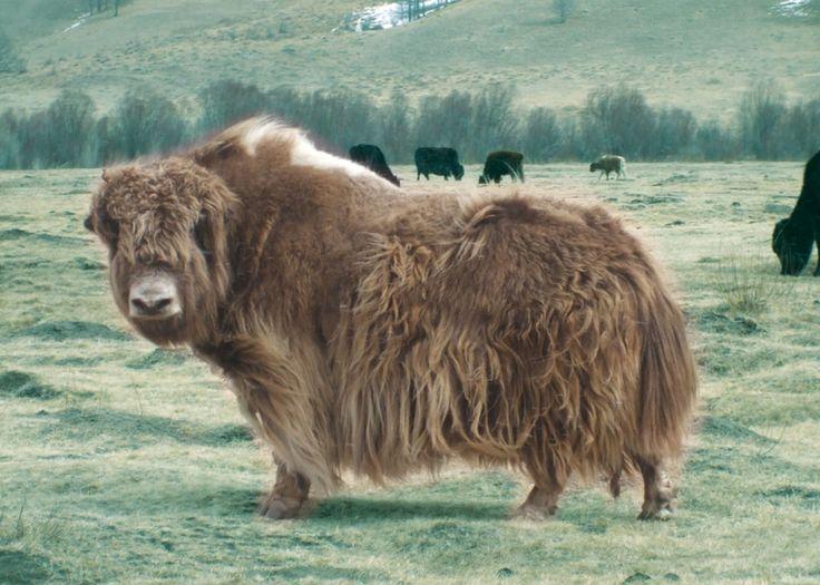 He looks a bit like a yak