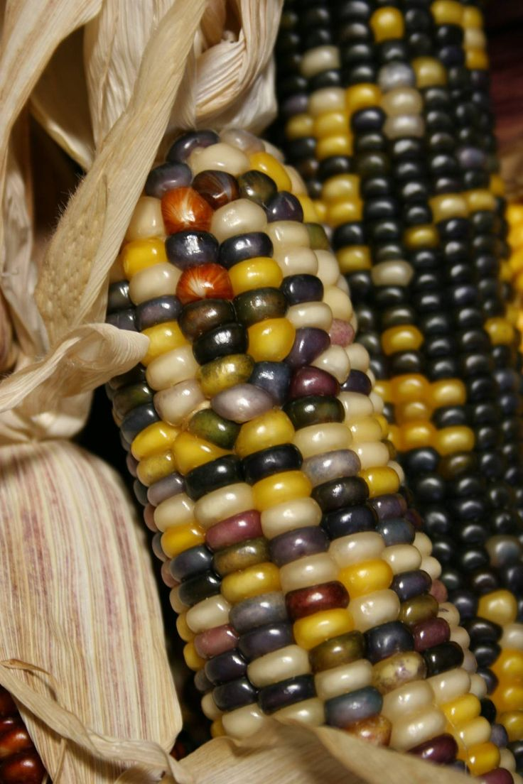 Indian Corn Fall Indian Corn Pinterest