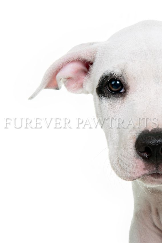 Baxter is a 12 week old American/English Staffy  Perth Pet Photographer - Furever Pawtraits  Photographer: Robbie Goodall