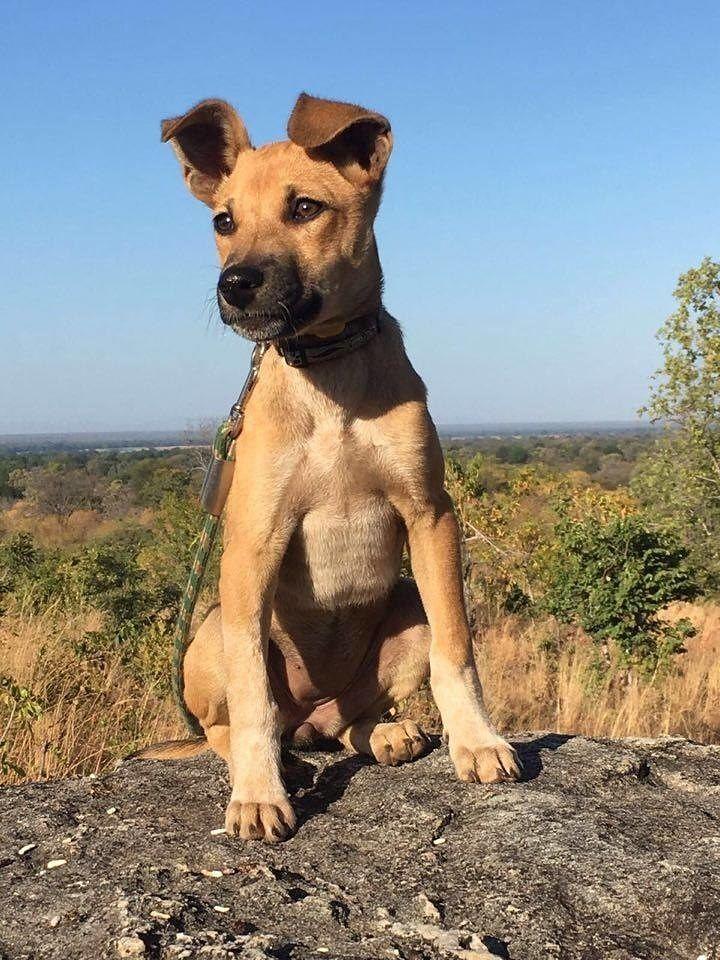Uma pequena vira-latinha é aposta da Zâmbia contra caça ilegal de...
