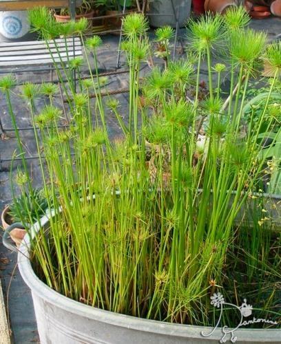 cyperus papyrus unanusu papyrus nain see more mini estanques en macetas