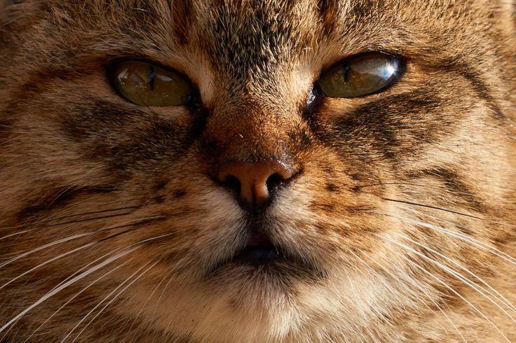 katt, däggdjur, fauna, närbild, näsa, polisonger