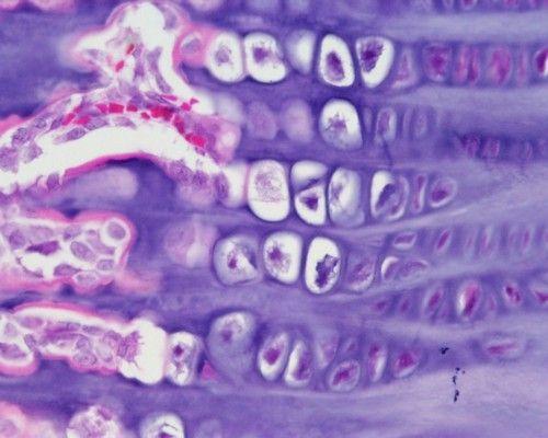 Growing Bone, Skeletal Tissue, Epiphyseal plate, rabbit (H) x40