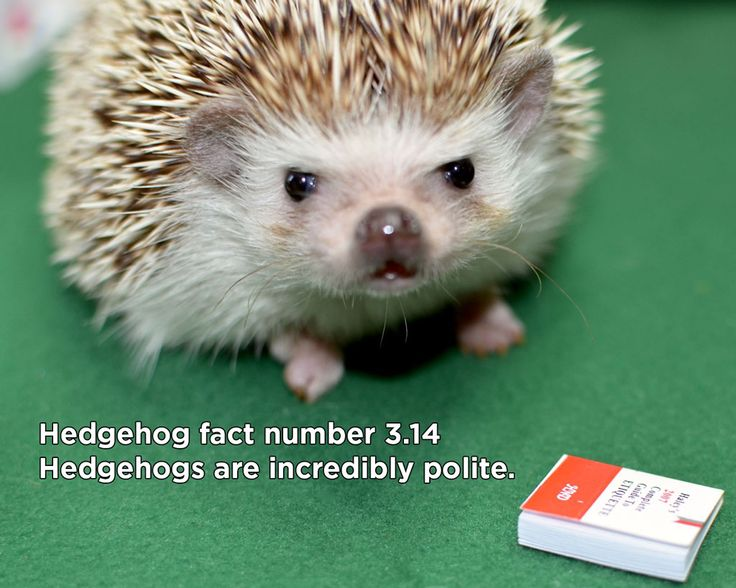 Today we present an amazing collection of virtually believable hedgehog facts for your wonder, delight, and edification:   You can even get the shirt here. If you enjoy these, you might enjoy …