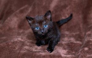 Vorschau Wallpaper Kätzchen, schwarz, blau, Junge