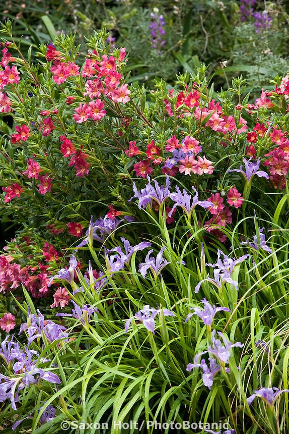 Best 25 california native garden ideas on pinterest for Low maintenance native plants