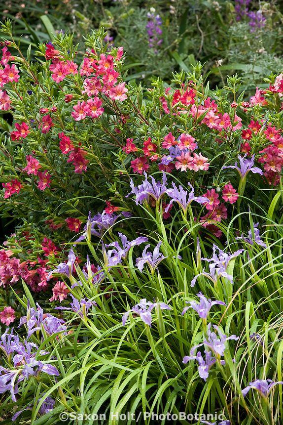 Monkeyflower Mimulus 39 Trish 39 And Iris Douglasii Flowering