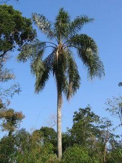 La palmera pindó o ybá pitá   -  Syagrus romanzoffiana      ARBOLES ARGENTINOS AUTOCTONOS - ARBOLES AUTOCTONOS ARGENTINA