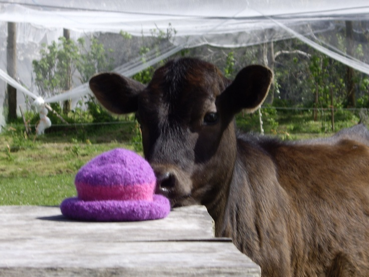 Belle contemplates some knitting - no, still think I'll stick to milking!