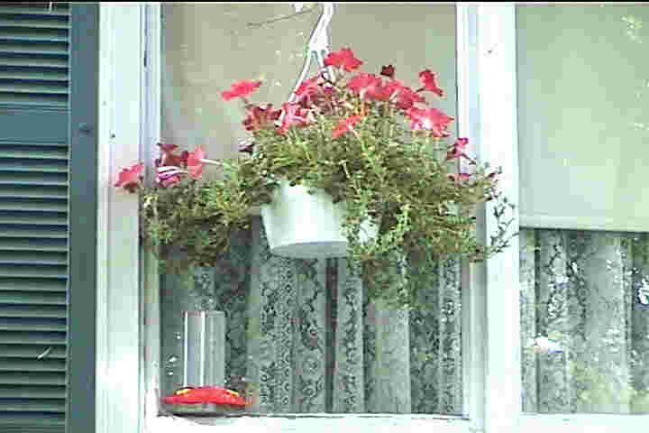 Best Hanging Basket Flowers For Hummingbirds : Attracting hummingbirds grow petunias and