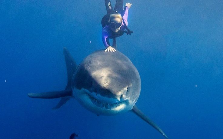 Swimming with a great white shark and even touching it - she is crazy!