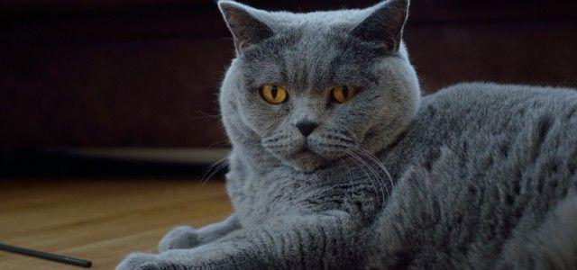 Chartreux Kedisi kedi cinsleri, kedi videoları, kedi isimleri, kedi cinsi, kedi sesi, kedi türleri, kedi hastalıkları, kedi hastalıkları tedavisi