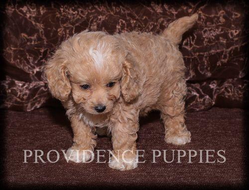 Cavapoo puppy for Sale in WAYLAND, IA, USA. ADN70775 on
