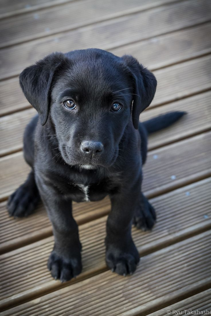 My parents won't let me get a puppy, and it makes me so sad. I love little black lab puppies.