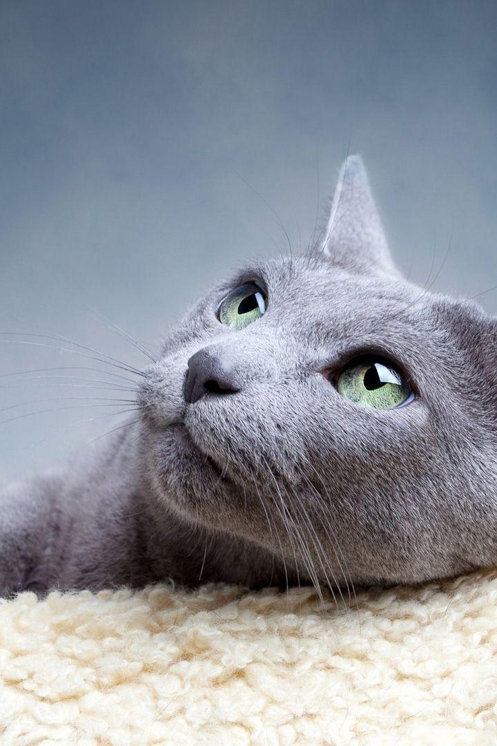 Animals Cute Sleeping Cat Mobile Wallpaper Russian Grey Cat Grey Cats Cats