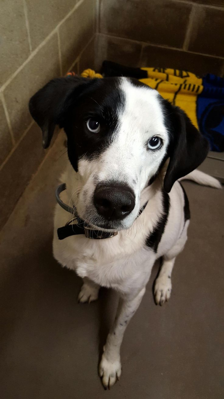 White Oak, PA- Meet Mike, an adoptable Border Collie looking for a forever home. If you're looking for a new pet to adopt or want information on how to get involved with adoptable pets, Petfinder.com is a great resource.