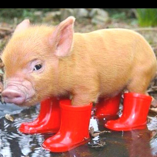 MICRO PIG!!! i neeeeed one!!!