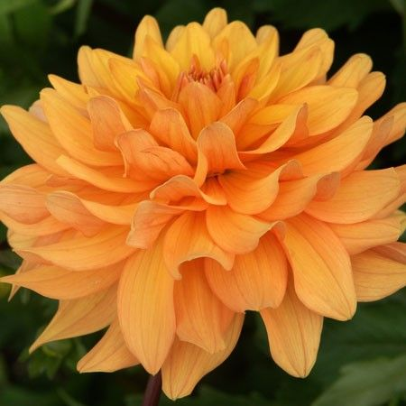 "Oranjestad Dahlia (6-8"" bloom; ? bush height): it is difficult to find information on this dahlia. It is listed as a red and yellow bi-colored waterlily. It looks like orange brushstrokes to me."