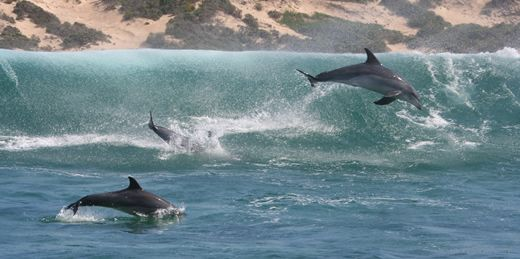 Google Image Result for http://mammalwatching.com/Cetaceans/Images/Bottlenose%2520Dolphins.jpg