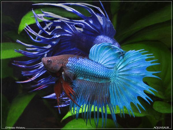 1000 images about pets on pinterest red white blue for Betta fish mating