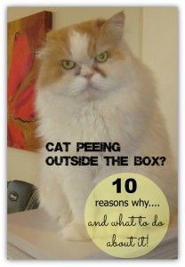 10 Reasons Your Cat Might Be Peeing Outside The Litter Box  | Crayons and Collars