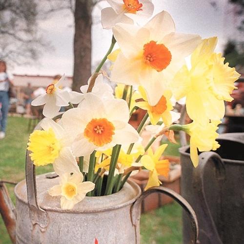 Google Image Result for http://visitsouth.com/images/uploads/gloucester-daffodil-festival-gloucester-va.jpg