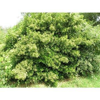 Fusain du Japon - persistant (Euonymus Japonicus), Godet 20/40 cm