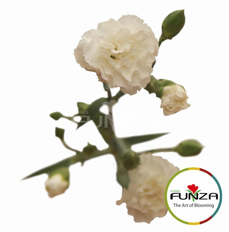White Spray Carnation from Flores Funza. Variety: Yoder Mist. Availability: Year-round.