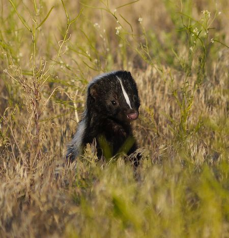 Learn all you wanted to know about skunks with pictures, videos, photos, facts, and news from National Geographic.