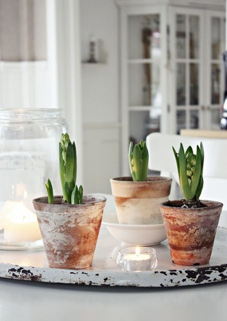 Millas hem: Första advent... Hyacinths in Clay pots...natural holiday decor