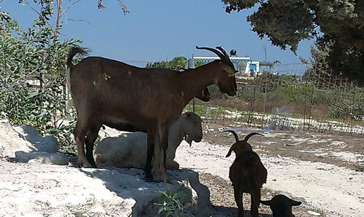Goats on Kos