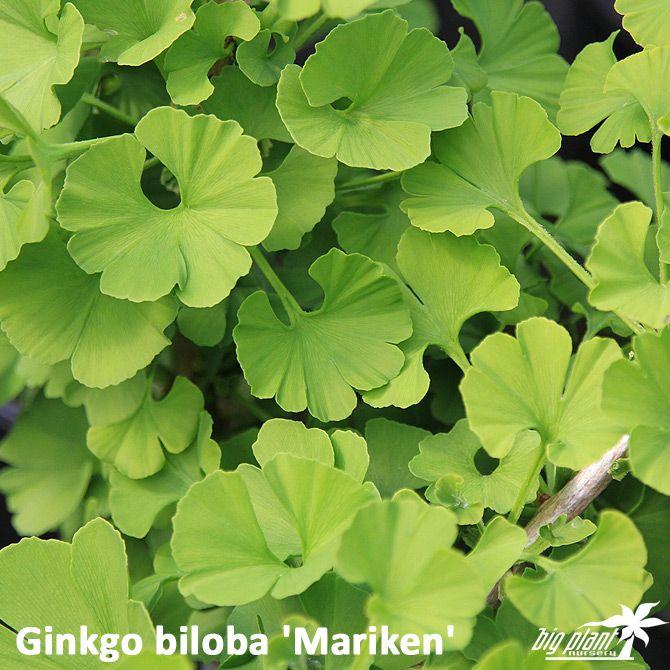 Ginkgo biloba 'Mariken' - Maidenhair Tree 'Mariken'