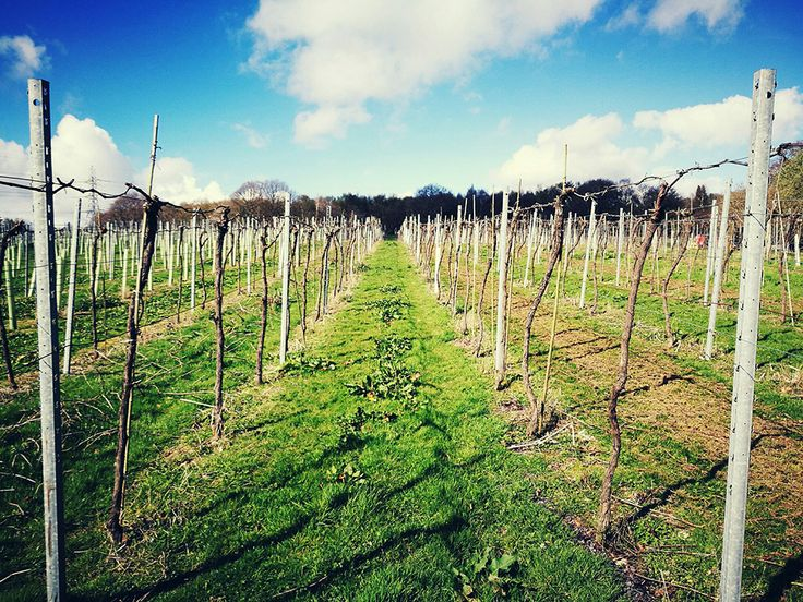 Are Sussex wines the next big thing? I spent April Fool's Day wine-tasting at Bolney Estate vineyard, Sussex, UK. They're planting Pinot Noir and Chardonnay now. Click to read my feature.