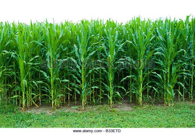 Rows Of Corn Stalks Stock Photos & Rows Of Corn Stalks Stock ...