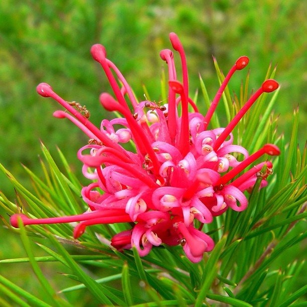 The Grevillea is also known as Spider Flower. Drinking ...