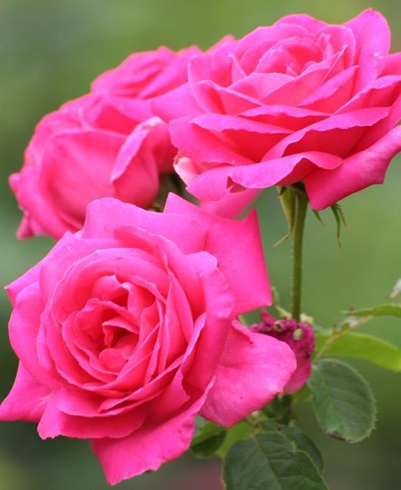 Cómo podar un rosal. La poda de rosales es uno de los cuidados más importantes que estas flores necesitan, para así crecer fuertes y sanas. Es la forma de eliminar la madera muerta y así contar con bonitas rosas. De esta ...