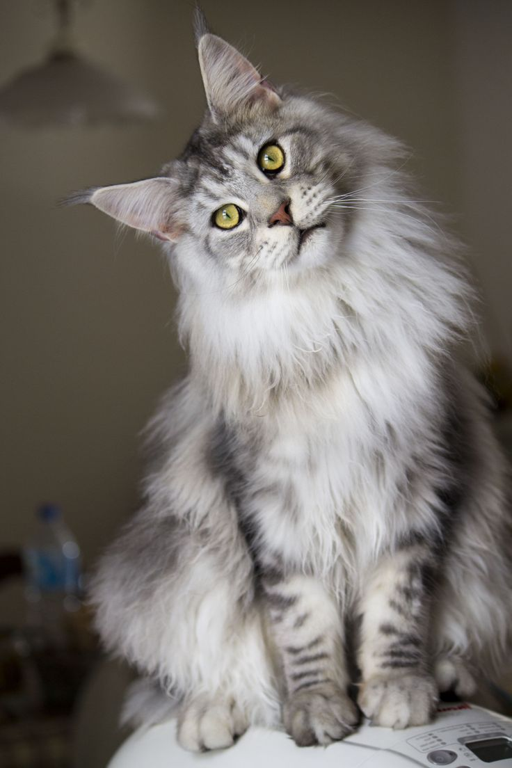13 Types of Fluffy Cat Breeds plete Guide to Care Fluffy Cat