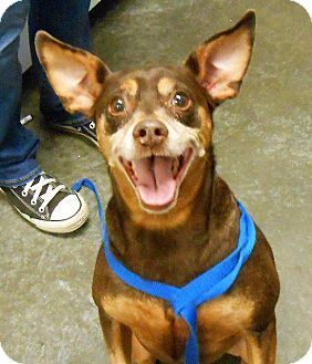 Pictures of Reese a Miniature Pinscher Mix for adoption in Lancaster, PA who needs a loving home.
